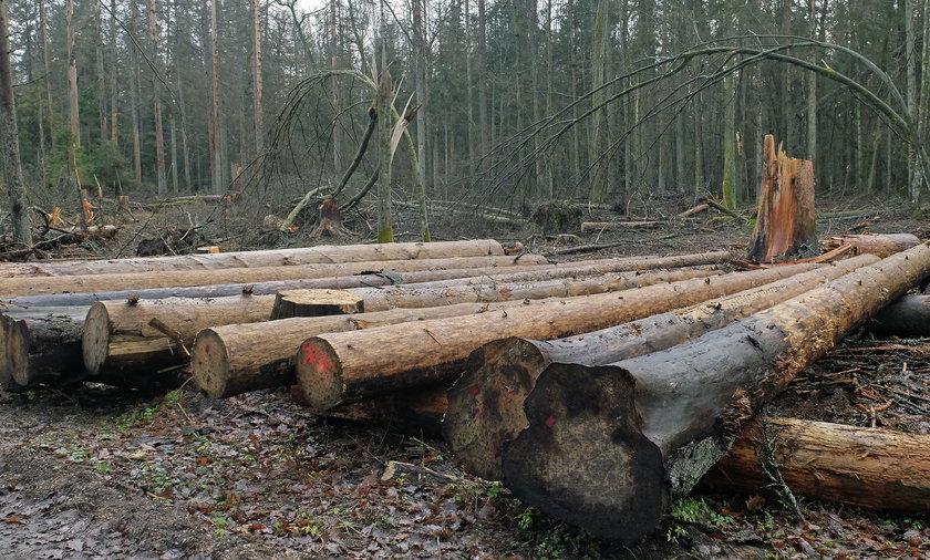 Będzie kolejna wycinka drzew w Puszczy Białowieskiej?