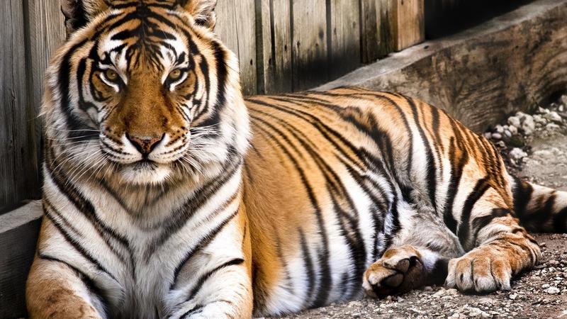 Jak wygląda skóra tygrysa pod futrem?