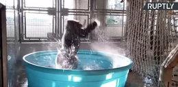 Goryl tańczący w kąpieli podbija internet!