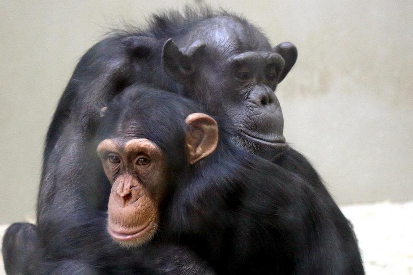 Szympansica Kasia nie żyje...