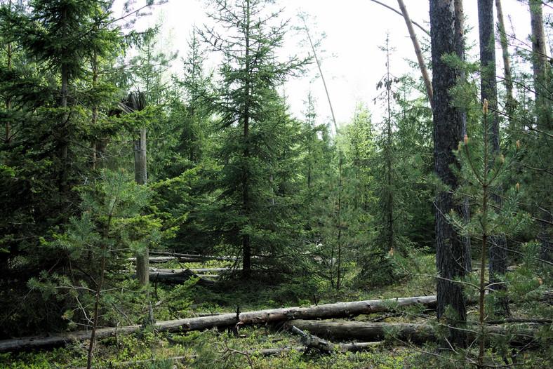 Las uszkodzony przez wiatr