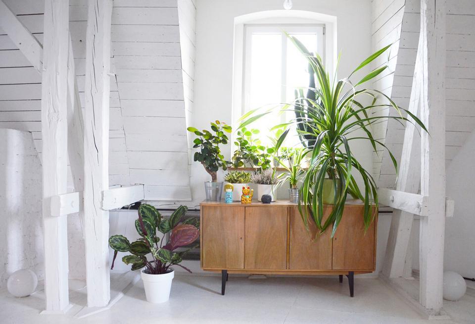 Właściciel hoduje sporo roślin doniczkowych.