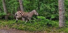 Nowy gatunek w lesie?! Zebra schwytana pod Elblągiem