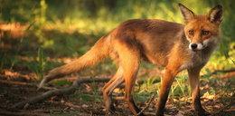 Makabra! Obdzierają lisy ze skóry, a ciała wyrzucają do śmieci