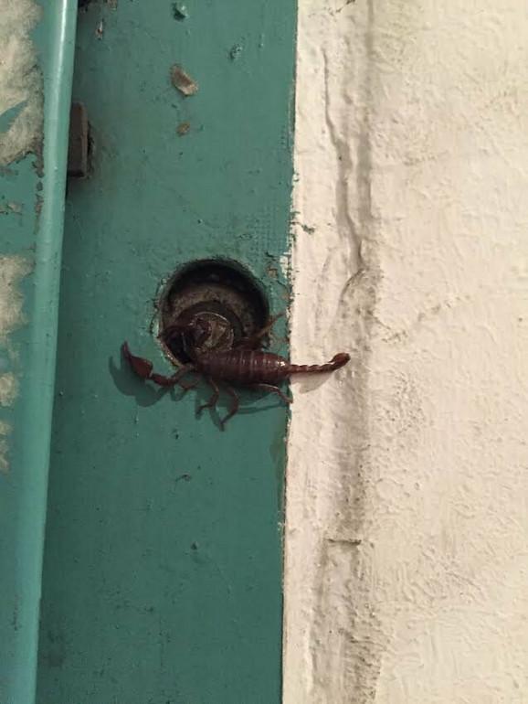 Dorćolci iznenađeni - škorpije na vratima lifta i terasi