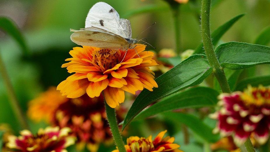 Cynie są bardzo odporne susze oraz duże nasłonecznienie - jggrz/pixabay.com