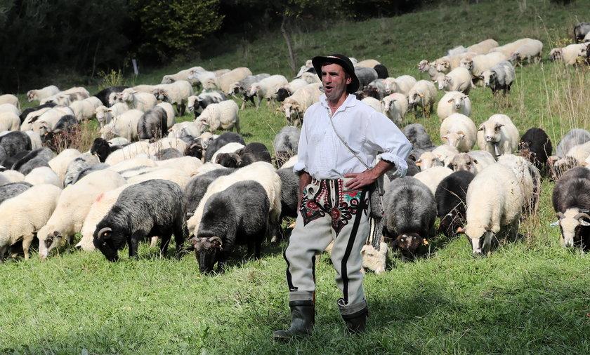 Redyk jesienny. Owce schodzą z hal.