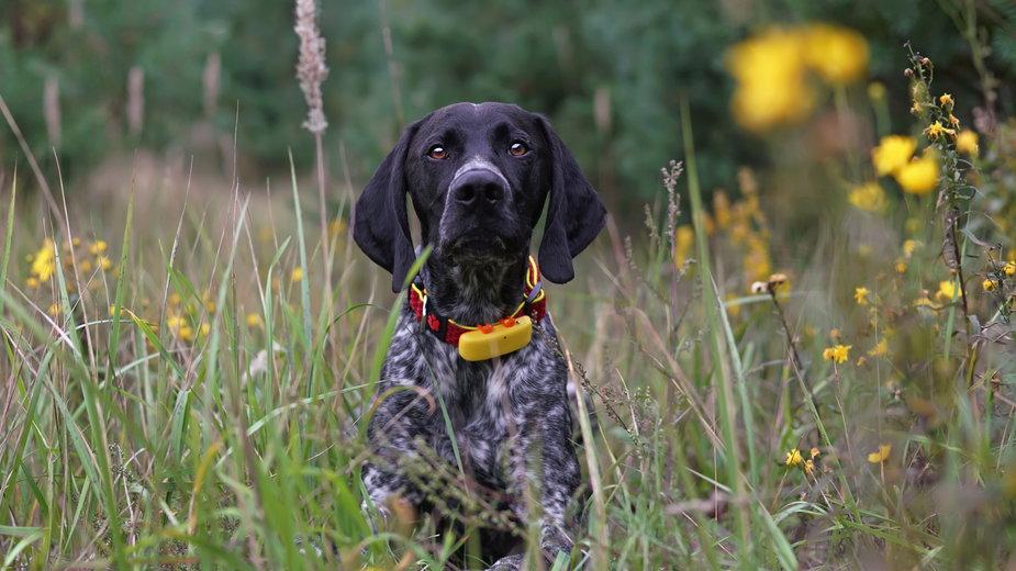 Pies z obrożą GPS -  Eudyptula/stock.adobe.com