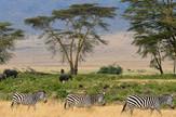 zebre slonovi safari afrika wikipedia Gary 800px-Zebras,_Serengeti_savana_plains,_Tanzania