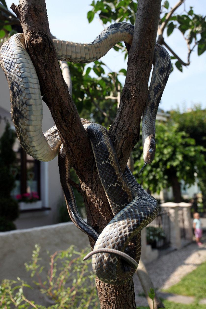 Wąż wisi na drzewie