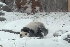 539808_panda