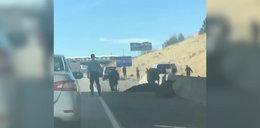 Krowy spadły z wiaduktu na autostradę w amerykańskim stanie Utah