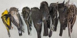 Tajemnicza zagłada tysięcy ptaków. Rozwiązali zagadkę ich masowego wymierania. Straszne!