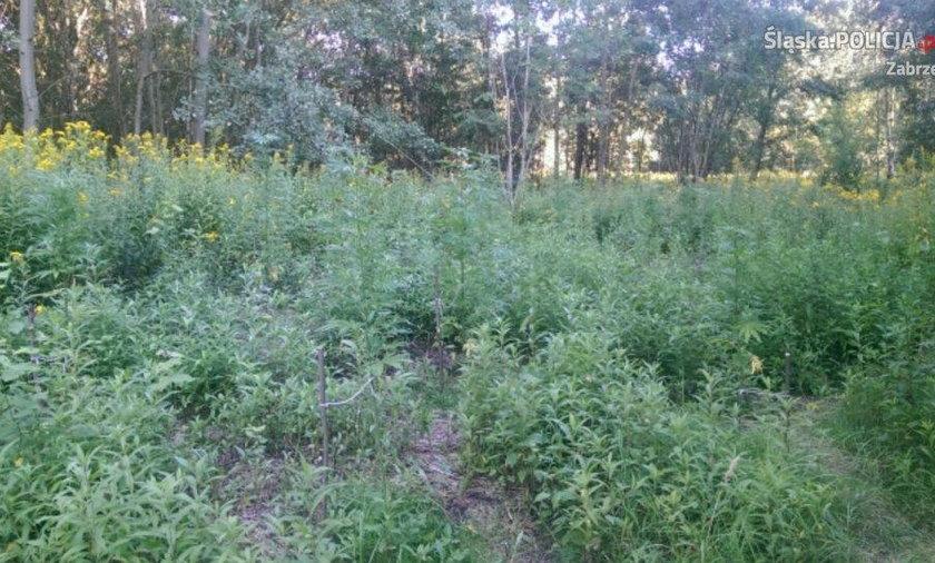 Zabrze. Siedemnastolatek w środku lasu hodował konopie