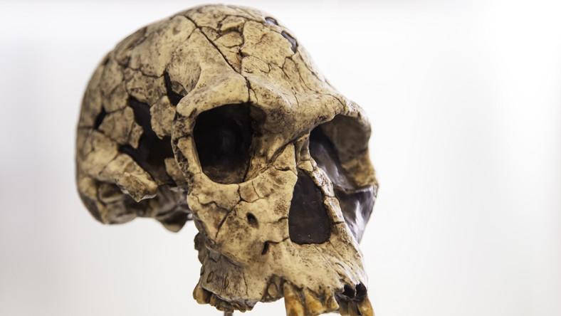 Czaszka prehistorycznego człowieka