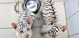 Kolejne białe tygryski w zoo w Borysewie