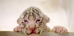 Jedyne białe tygrysy w Polsce doczekały się małych