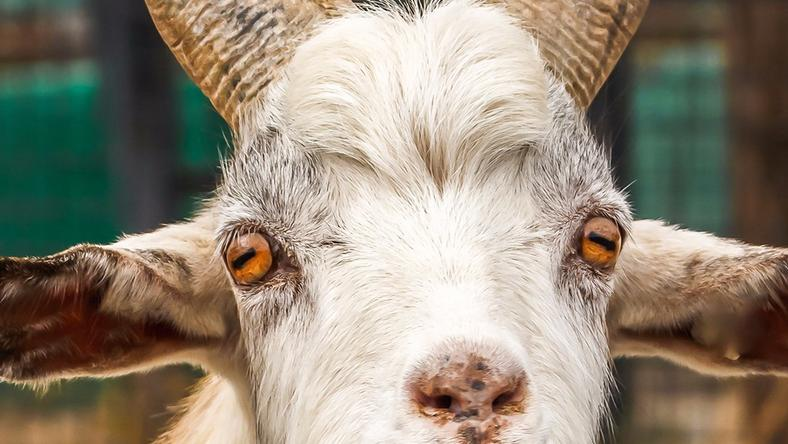 The teenager has reportedly had sex with a goat on two occasions.