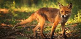 Zaszczepią lisy w całej Małopolsce