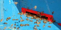 Atak pszczół w Pucku. Mężczyzna w szpitalu
