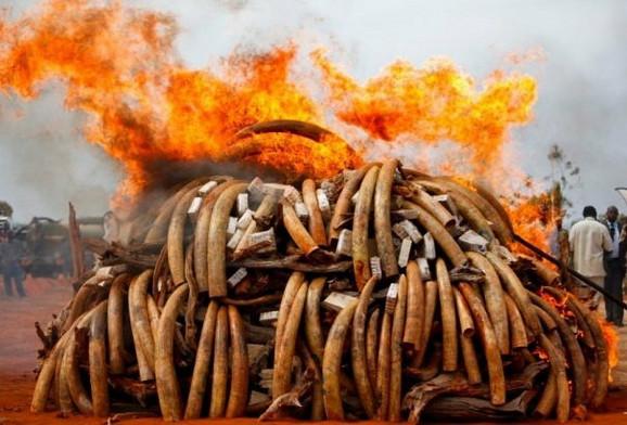 Zaplenjena slonovača se spaljuje