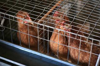 Konfederacja: Jeśli zostanie wprowadzony zakaz chowu klatkowego, to nasze rolnictwo zostanie wykończone