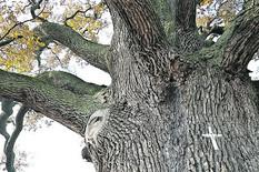 Kraljevo 02 - Obim stabla je 8 metara, a vidok je 28  - Foto N. Božović