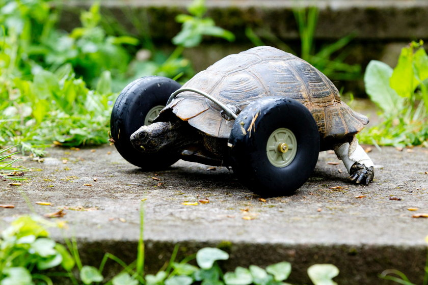 Żółw inwalida