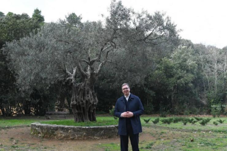 Vučić i maslina  na Hilandaru