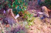 AP_bitka_zmije_i_leoparda_vesti_blic_safe