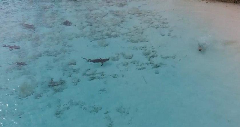 Rekiny przy plaży na Hawajach
