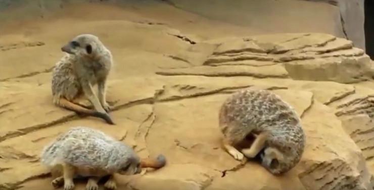 698947_pospani-merkat-foto-youtube-kyoot-animals