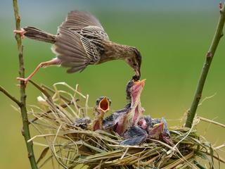 Zitting Cisticola Feeding Her Newborns