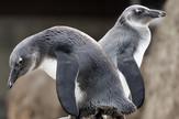 Pingvin foto Tanjug AP (3)