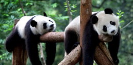 Tak lenią się pandy. Zdjęcia