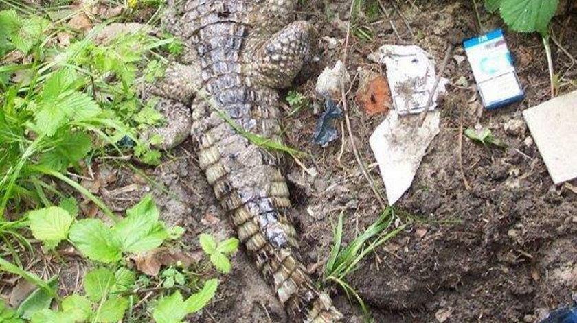 Martwy krokodyl znaleziony pod Gdańskiem w 2013 roku