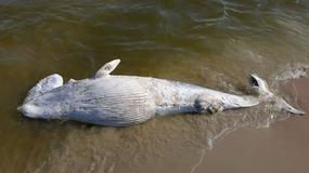 Martwy wieloryb na plaży koło Kątów Rybackich
