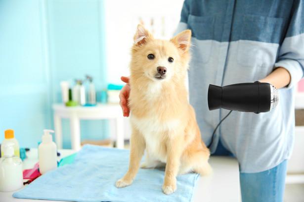 """Psi fryzjerzy, czyli tzw. groomerzy za kąpiel i strzyżenie psa średniej wielkości pobierają od 70 do 120 zł""""."""
