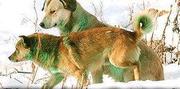 Psy w Rosji zzieleniały!