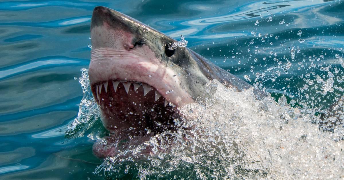 Mehr-Menschen-sterben-durch-Haie-Pech-oder-Grund-zur-Panik-