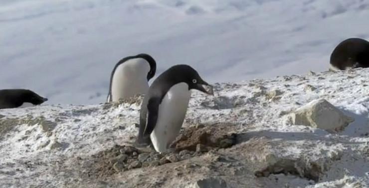 185578_pingvin