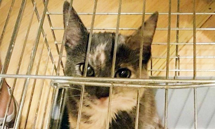 Kradzież kota we Wrocławiu. Policjanci odzyskali porwaną kotkę