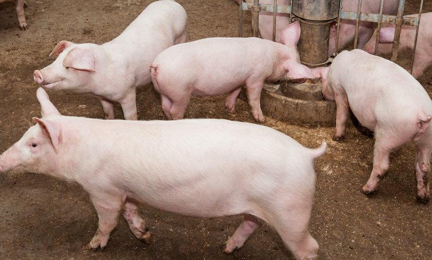 2 tysiące świń zginęło w pożarze