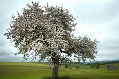344924_jabukovo-drvo-nemacka