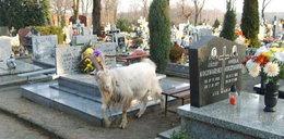 Kozy pasą się na cmentarzu