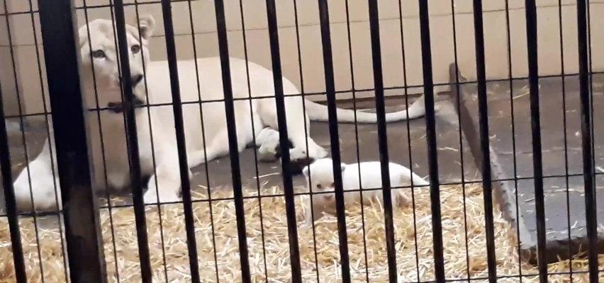 Zobacz jaka słodycz! Biała lwiczka przyszła na świat w zoo safari pod Łodzią (WIDEO)