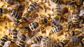 Pasażerowie ewakuowani z samolotu. Tysiące pszczół wydostały się z jednego z kontenerów