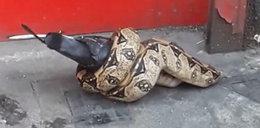 Pyton zaatakował w Londynie. Przerażające nagranie