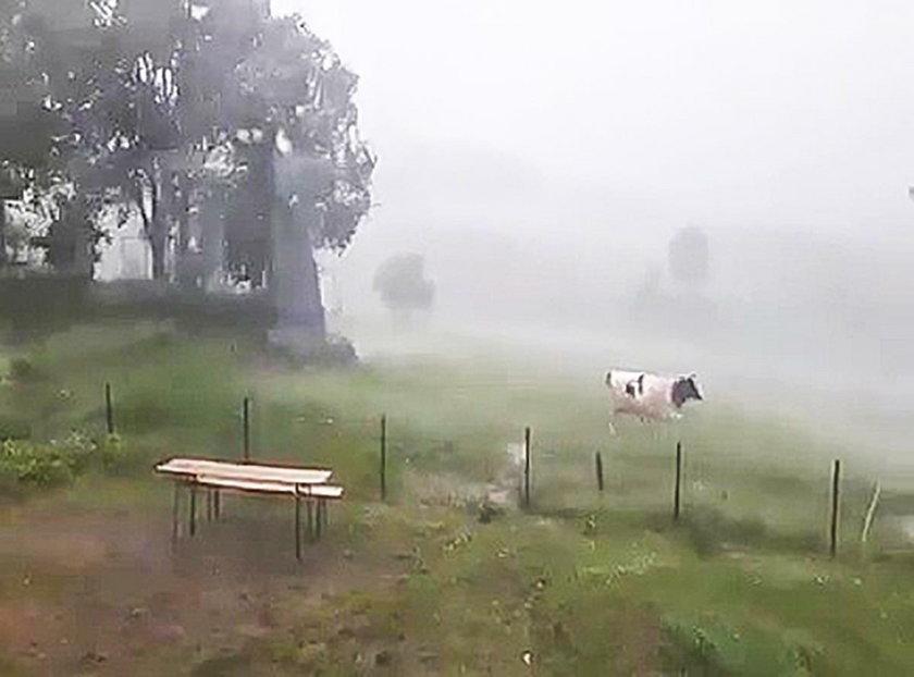 Trampolina chciała zabić moją krowę