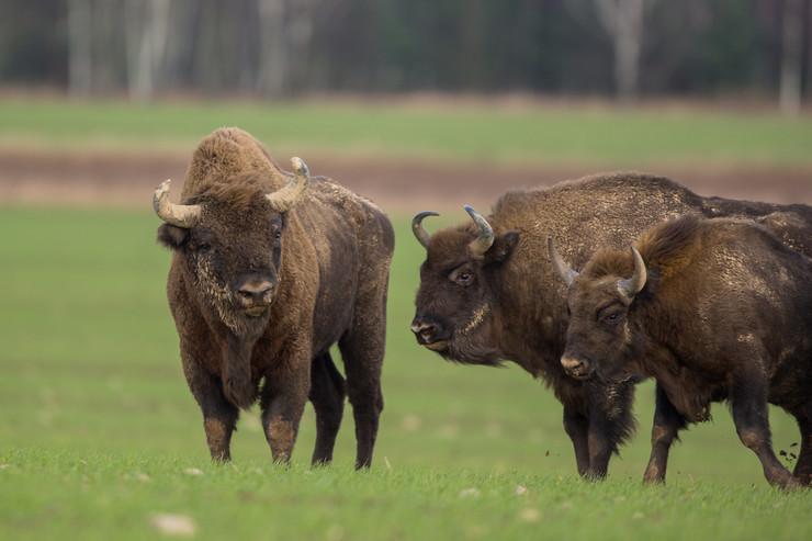 european-bison-bonasus-knyszyn-forest-450w-724092766